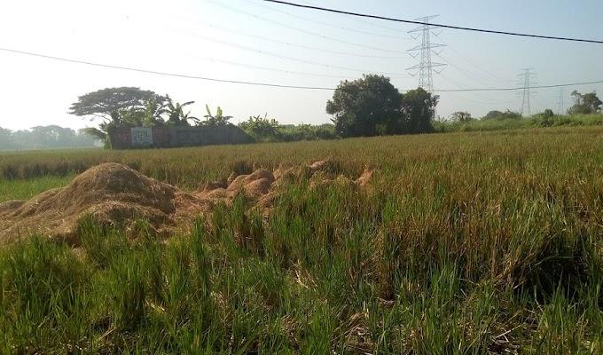 Hasil Panen di Kecamatan Carenang Tidak Sesuai Harapan Para Petani, Harga Gabah Anjlok
