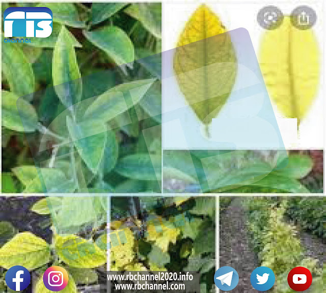الحديد في التربة والنبات | العناصر المغذية الصغرى