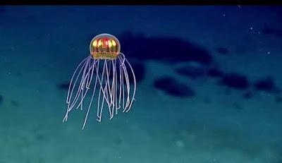 Spesies Baru Ubur-ubur yang Indah dan Misterius