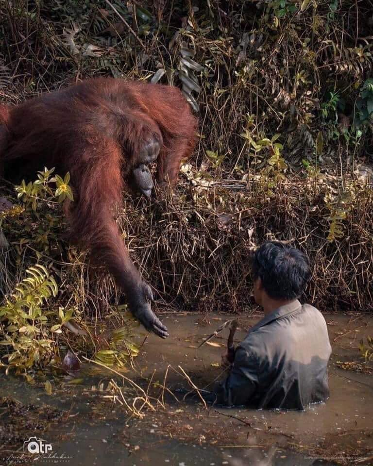 An orangutan monkey rescues a geologist who fell into a mud puddle during his research