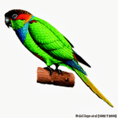 Brown breasted parakeet