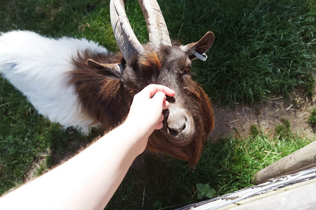 stroking a brown and white goat