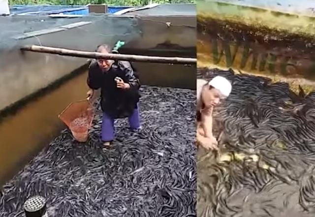 3 Langkah Praktis Budidaya Ikan Gabus