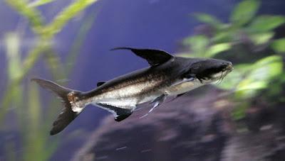 Kumpulan Gambar Ikan Genghis Khan atau Paroon Shark