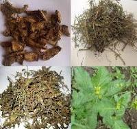 ramuan obat herbal asam urat