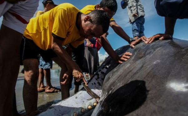 Yemen, pescatori trovano un «tesoro» nello stomaco di una balena morta