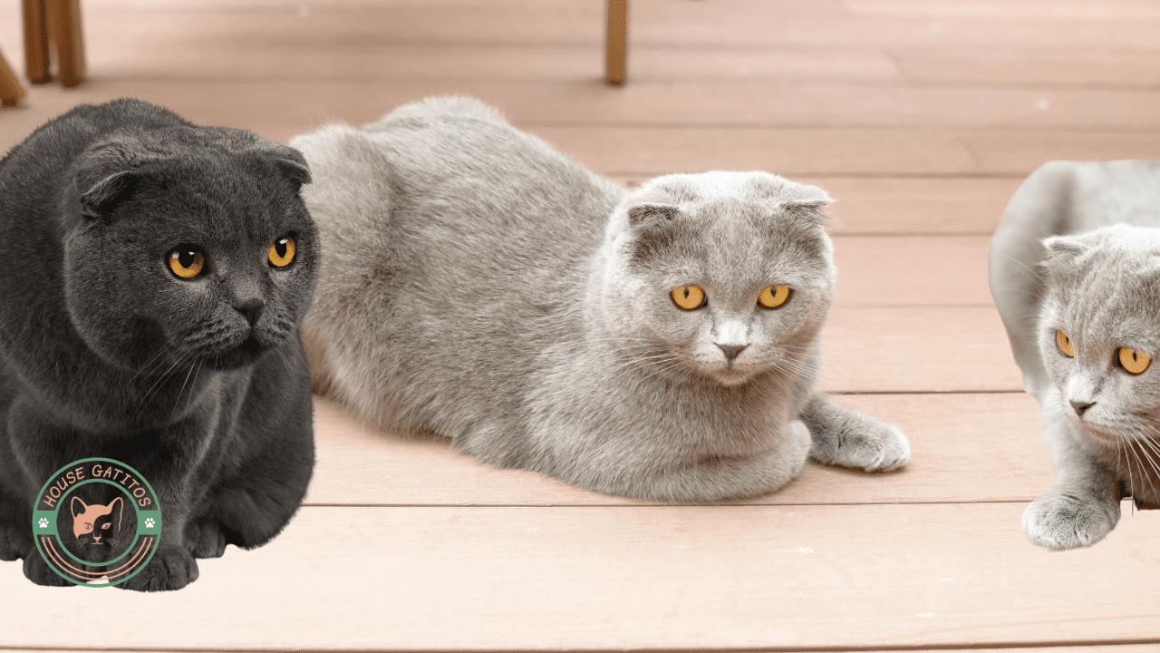 Foto de gato Scottish Fold