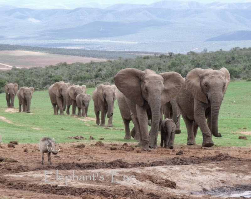 Skein of elephants approaching the waterhole (with a wary warthog)