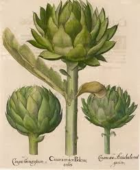 Botanical illustration of globe artichokes