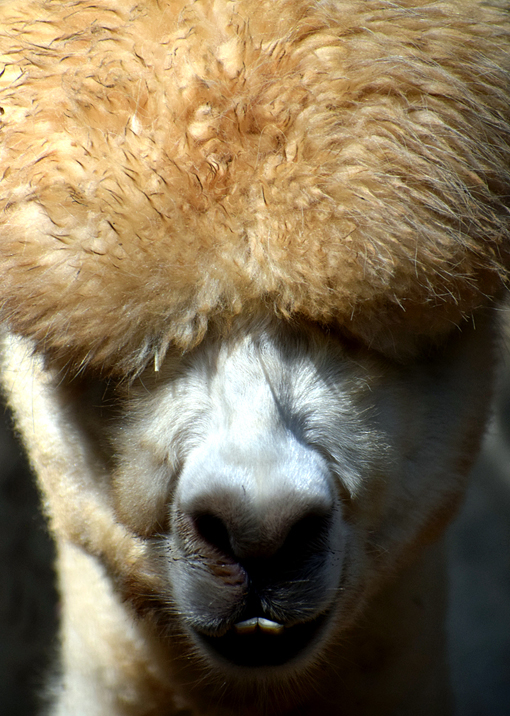 Alpaca | Zoo Atlanta | Photo: Travis S. Taylor