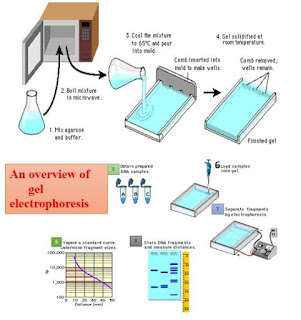 What all you need to know about Gel Electrophpresis? (the basics)
