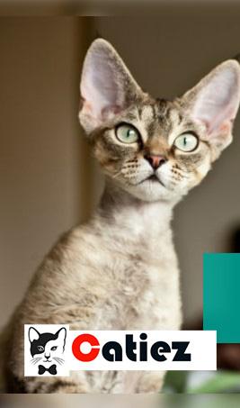 devon rex cat - all you want to know about devon rex cats
