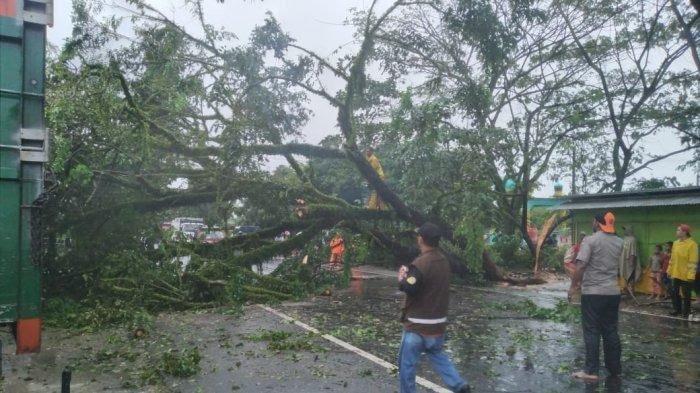 Sebatang Pohon Trambesi Besar Tumbang Tutupi Badan Jalan Medan Banda Aceh Depan Muq Langsa