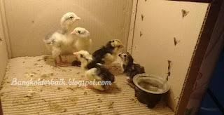 Cara merawat ayam aduan usia 0 sampai 7 bulan