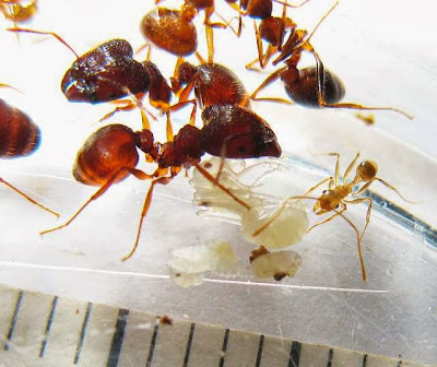 The major and minor workers of this rare Pheidole species