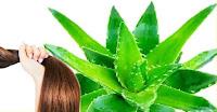 الألوفيرا في علاج مشاكل الشعر ALOEVERA