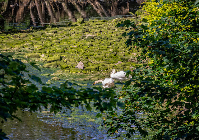 Photo of the pair of adult swans on the River Ellen at Maryport