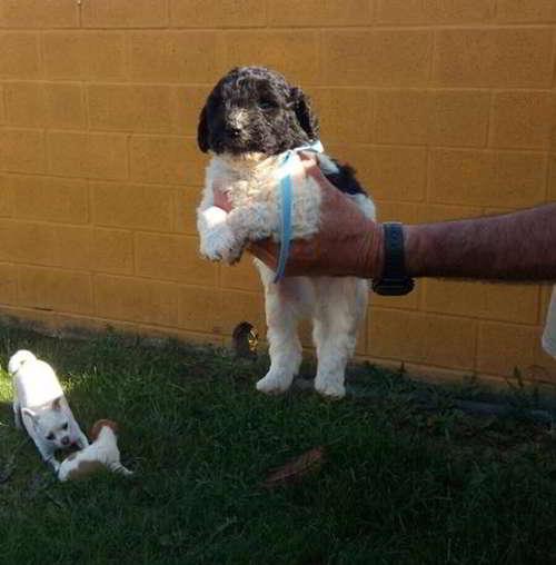 cachorros cruce perro de aguas 4