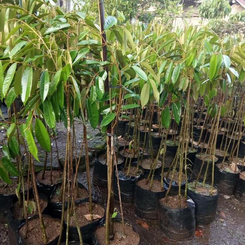 Bibit Durian Musangking kaki 3 Aceh