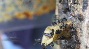 Klasifikasi lebah kelulut menurut Sakagami (1978). Budidaya lebah kelulut termasuk dalam kegiatan yang cukup mudah dan tidak memerlukan biaya besar.