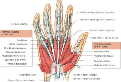 """anatomi otot opponens digiti minimi, dari bahasan di atas bisa diketahui mengenai anatomi origo, insersi, aksi atau fungsi, saraf, dan arteri dari otot ini. Mungkin hanya itu yang bisa disampaikan di dalam artikel ini, mohon maaf bila terjadi kesalahan dalam penulisan, terimakasih telah membaca artikel ini.""""God Bless and Protect Us"""""""