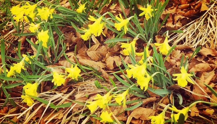 Narciso ornamental de jardin