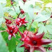 Pokok roselle kembali lebat berbuah