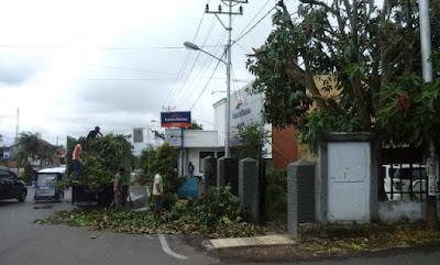 Sedikitnya 60 Pohon Tua, Bakal Dipangkas Pemkot Kotamobagu