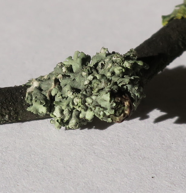 Another kind of lichen on the twig.