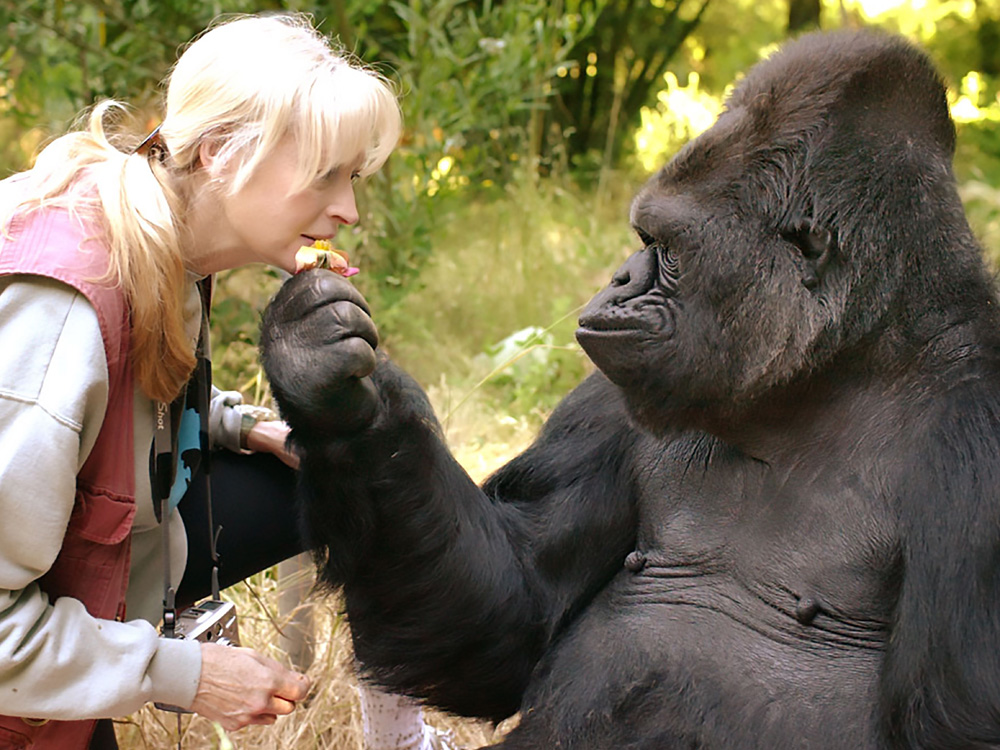 This undated photograph obtained June 21, 2018, shows the gorilla Koko and her lifelong teacher and friend Dr. Penny Patterson.