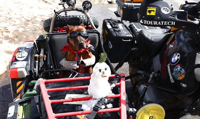 Σκύλος Bull Terrier