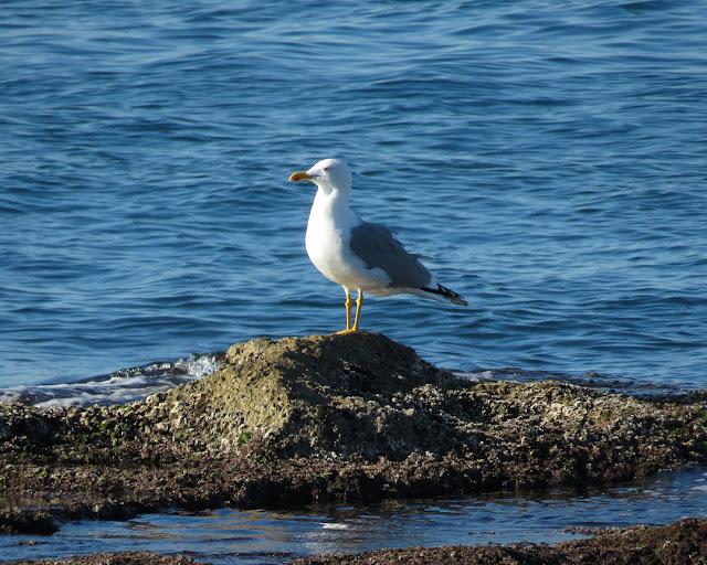 Gull on a rock, Terrazza Mascagni, Livorno