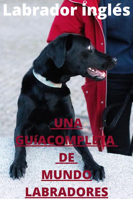Labrador inglés negro un guia comleta