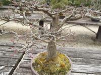 Maple tree bonsai - Kyoto Botanical Gardens, Japan