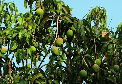 Gambar pohon mangga
