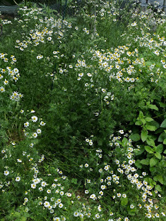 Chamomile growing in the garden. Very large plant!