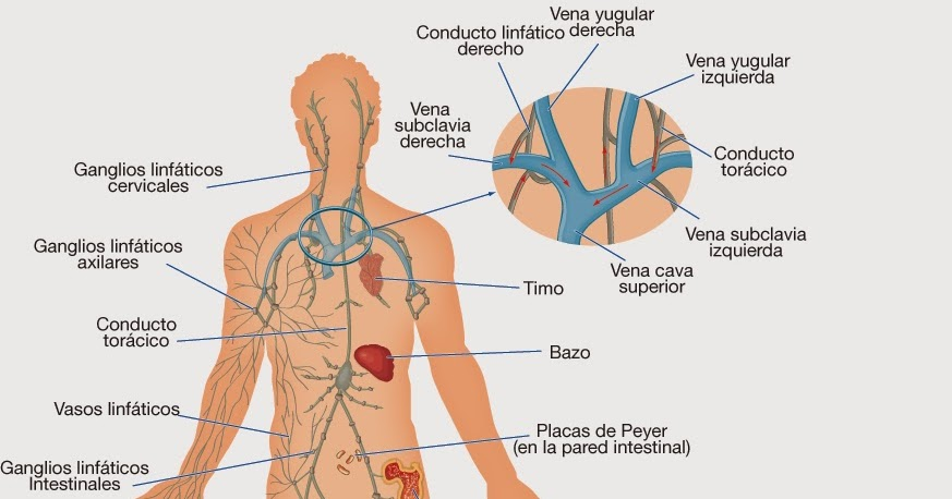 Herbolario Hierbabuena Gijón: El sistema linfático
