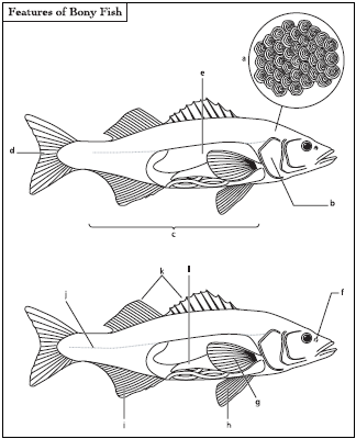 The special features of bony fish include bony scales (a), opercula (b), highly maneuverable fins (c), a tail with its upper and lower lobes usually of equal size (d), a swim bladder that adjusts the fish's buoyancy (e), nostrils (f), pectoral fins (g), a pelvic fin (h), an anal fin (i), lateral lines (j), dorsal fins (k), and a stomach (l).