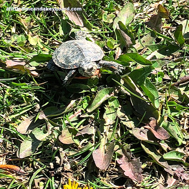 Baby painted turtle on the move at Heron Creek Forest Preserve in Lake Zurich, Illinois