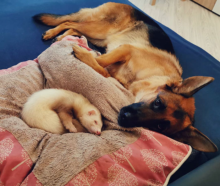 German Shepherd And Ferret Become Unlikely Best Friends