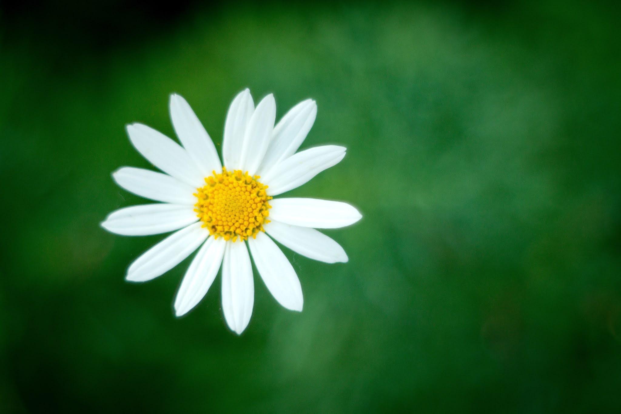 """صورة لزهرة البابونج رائعة """" خلفية شاشة """""""