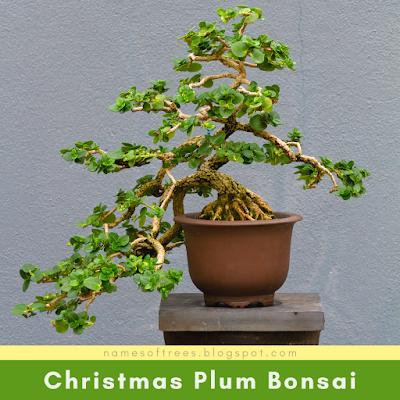 Christmas Plum Bonsai