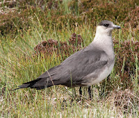 Parasitic Jaeger – Handa Island, Northern Highlands, Scotland – June 4, 2012 – Donald Macauley