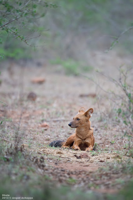 Dhole – Indian Wild Dog