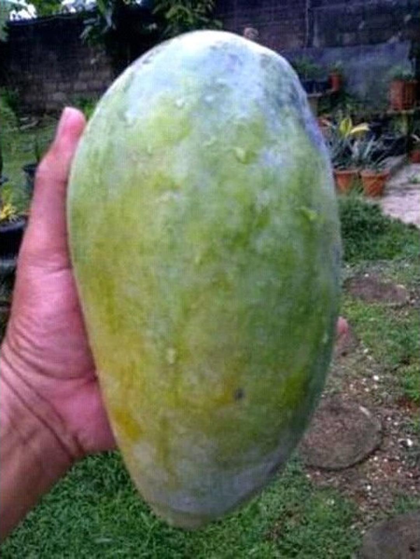 Kualitas Super! bibit mangga kyojay Kota Malang #jual bibit buah genjah