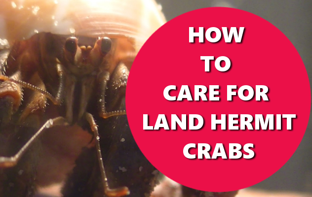 HOW TO CARE FOR LAND HERMIT CRABS BASICHOWTOS.COM