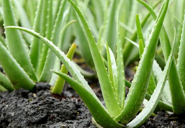 What are the Benefits of Aloe Vera Juice and Side Effects