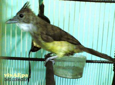 Gambar Burung Cucak Jenggot Monalisa