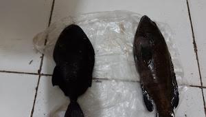 Laporkan Dugaan Kegiatan Illegal Fishing ke Polisi Kades Bungaia Serahkan Ikan Pogo dan Sunu Sebagai Sample Barang Bukti