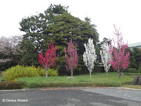 Multi-color blooming cherry trees, Tokyo Imperial Gardens, Japan